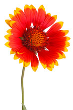 Stem With Red And Yellow Flower Of A Gaillardia On White