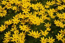 Coreopsis Verticillata Zagreb Many Yellow Flowers