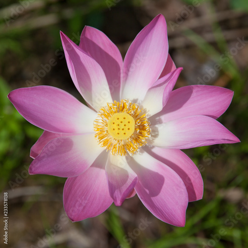 Foto op Canvas Lotusbloem Lotus flower close-up.