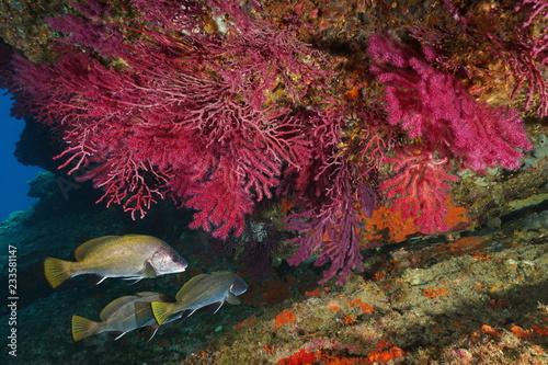 Red gorgonian soft coral with corb fish underwater Mediterranean sea, Cap de Creus, Costa Brava, Catalonia, Spain