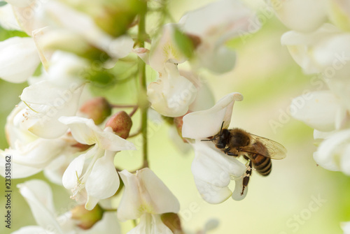 honey bee gathering on white acacia flower Wallpaper Mural