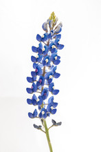 Isolated Bluebonnet (Lupinus T...