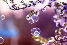 Festive Beautiful Background With Flying Soap Bubbles Shimmering In The Sun In The Spring Garden Above The Cherry Blossom Branch