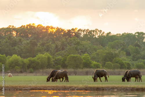In de dag Buffel Thai swamp buffalo in peat swamp around lagoon with sunset background
