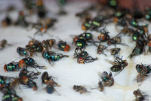 Group Of Fly, Housefly Dead On Sticky Fly Paper Trap