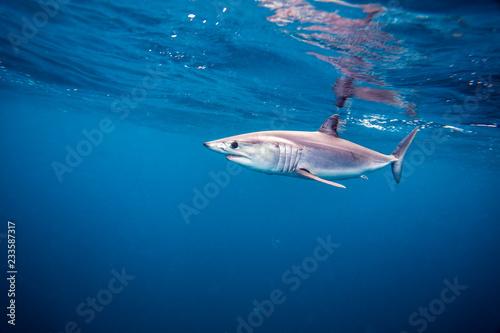 Shortfin Mako Shark or Isurus oxyrinchus swimming wild in the Pacific Ocean off San Diego, California. Wild
