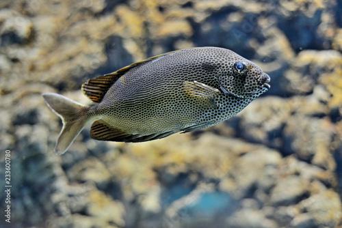 Fototapeta Exotic fish in a marine aquarium obraz