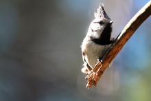 Close Up Of A Crested Tit (Lop...