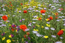 Blooming Flower Meadow With Purple Milk Thistles (Galactites Tomentosus), Corn Poppy (Papaver Rhoeas) And Arnica (Arnica Montana), At El Tablero, Gran Canaria, Canary Islands, Spain, Europe