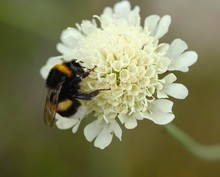 Large Earth Bumblebee (Bombus Terrestris), On Flower Of Cream Scabious (Scabiosa Ochroleuca), Albania, Europe