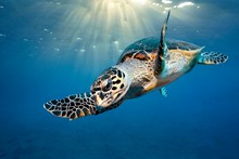 Loggerhead Sea Turtle (Caretta...
