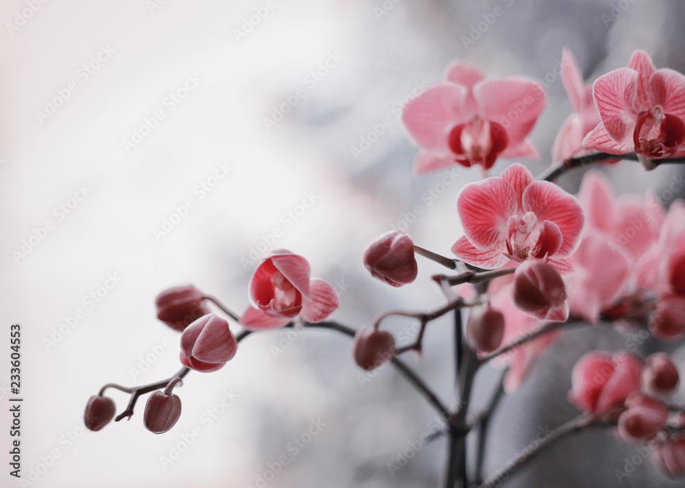 Fototapety, obrazy: Kwitnące storczyki
