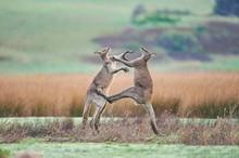 Eastern Gray Kangaroo (Macropu...