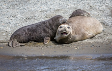 Mother Elephant Seal With Young Pup