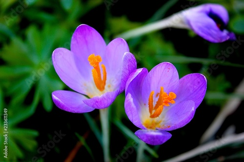 Foto op Canvas Krokussen crocus in spring