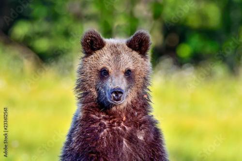 Obraz na płótnie Brown bear cub