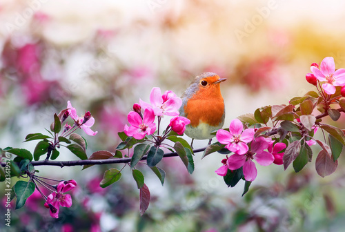 little bird Robin sitting on a branch of a flowering pink Apple tree in the spri Wallpaper Mural