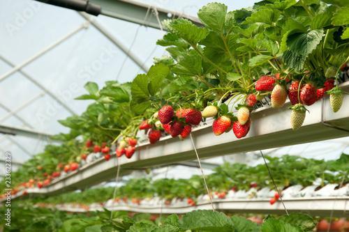 Growing  organic  hydroponic strawberries in greenhouse. Israel.