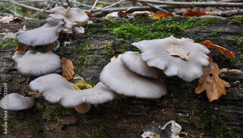 Fotografija In the forest mushrooms grow Pleurotus ostreatus