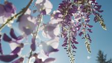 DOF CLOSE UP: Spring Sun Shining Through Beautiful Wisteria Flowers