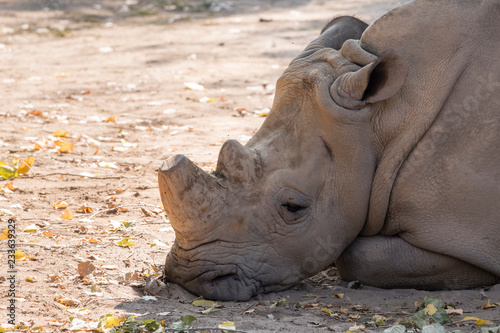 Sad lying rhinoceros.