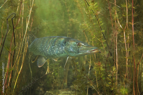northern-pike-esox-lucius-czech-dive