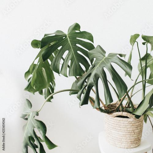 Cuadros en Lienzo Tropical plant monstera in flowerpot on white background