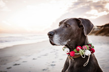 Great Dane Wearing Woolen Pet Collar While Sitting On Shore At Beach
