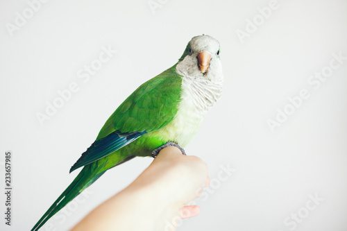 Close-up of woman hand holding beautiful green Monk Parakeet. Quaker parrot sits on girl and looks directly at camera. Selective focus, white background. Indoor bird portrait.