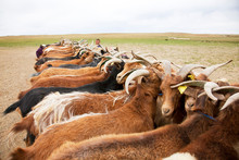Herd Of Goats On Field