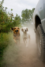 Dogs Running Behind Car