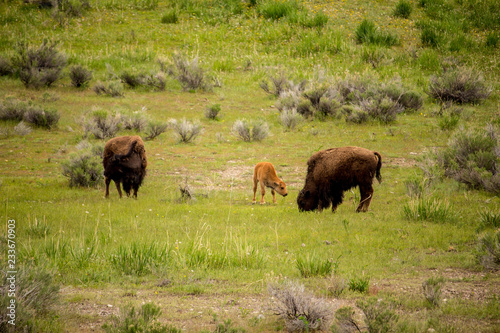 Aluminium Prints Buffalo Family, Yellowstone Park