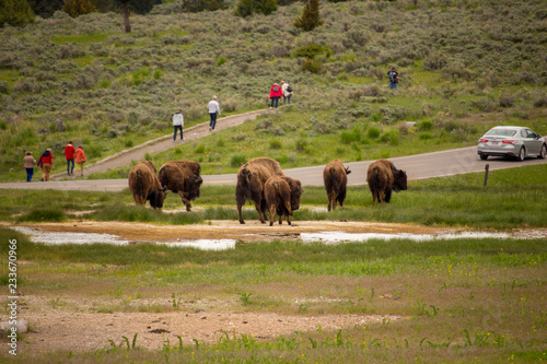 Aluminium Prints Bison buffalo family