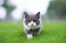 British Short-haired Cat Playi...