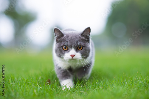 Fototapeta British short-haired cat playing on grass