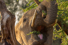 Elephant Close Up Eating From A Thornbush