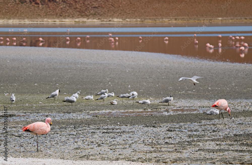 Group of Pink Flamingos and Seagulls at Laguna Hedionda, the Saline Lake in Andean Altiplano, Potosi, Bolivia, South America