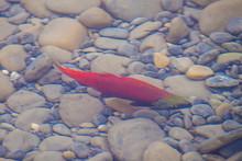 Colorful Spawning Sockeye Salmon Swimming In A River, British Columbia, Canada