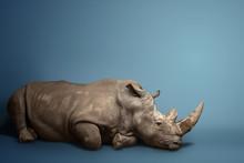 Beautiful Big Adult Rhinoceros...