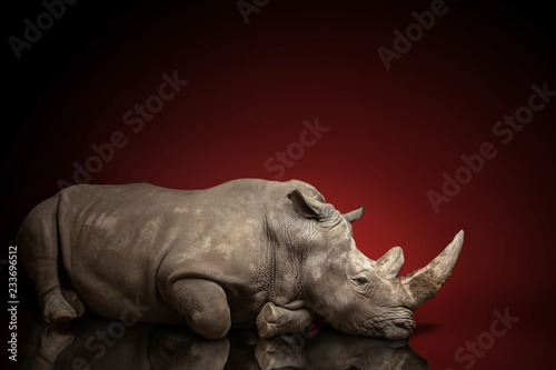 Keuken foto achterwand Neushoorn beautiful big adult rhinoceros poses, rare animal