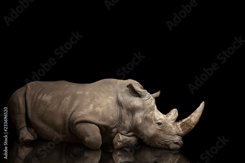 Tuinposter Neushoorn beautiful big adult rhinoceros poses, rare animal