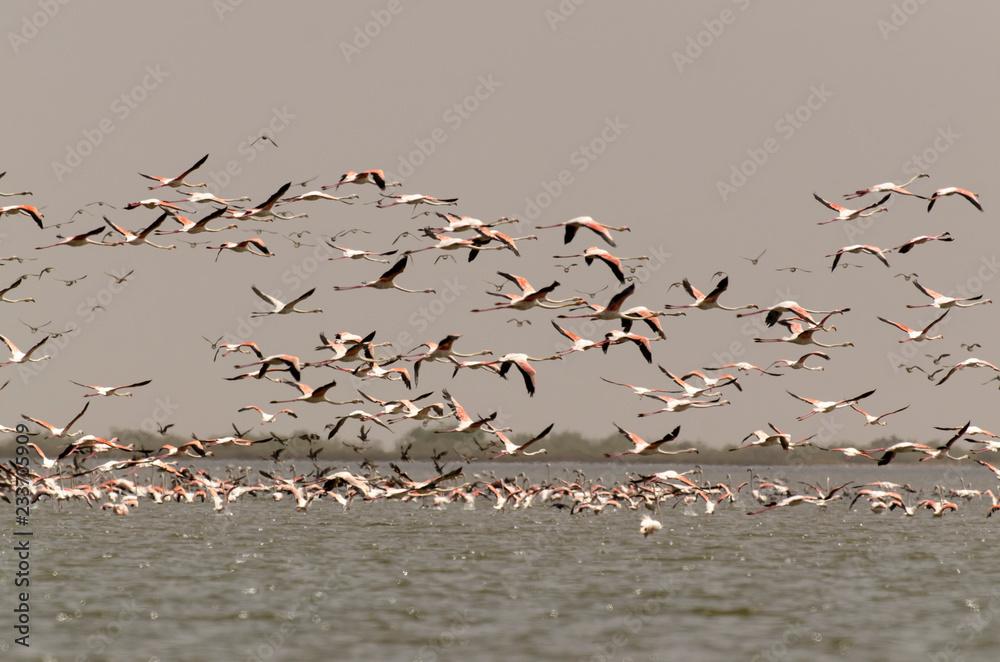 flamant rose, Greater Flamingo,