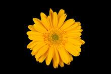 Yellow Gerbera Flower On Black Background