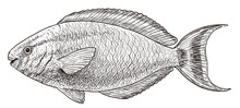 Parrot Fish Illustration, Drawing, Engraving, Ink, Line Art, Vector