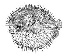 Blowfish, Puffer Fish Or Porcu...