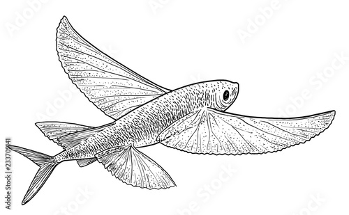 Photo Flying fish illustration, drawing, engraving, ink, line art, vector