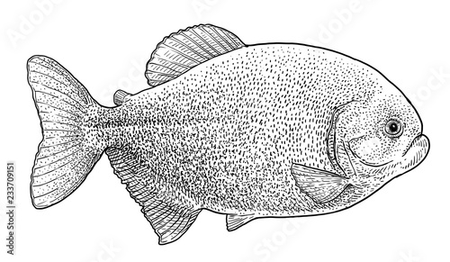 Valokuva Piranha illustration, drawing, engraving, ink, line art, vector