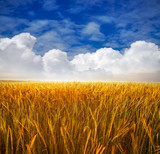 Złote pola zbóż pod błękitnym niebem - 233719136