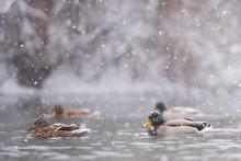 Mallards (Anas Platyrhynchos) Swim In Heavy Snow