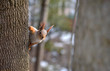 Cute squirrel looks into the camera sitting on a tree in the spring on a Sunny day